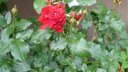 Bild på röd rosenknopp