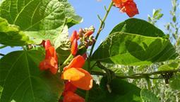 Klängväxt med orangeröda blommor