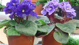 Krukväxt med lila blommor