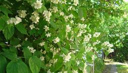 Grön buske med vita blommor