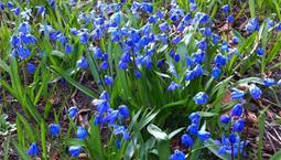 Små blå blommor på gräsmatta