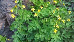 Gula blommor på högt skaft och med gröna blad som växer bredvid en stor sten.