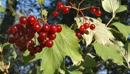 Litet träd med gröna blad och röda bär.