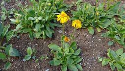 Växt med gröna blad och gula blommor