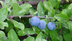 Närbild på buskväxt med gröna blad, brun stam och gråblå bär.