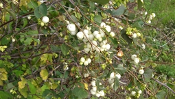 Buskväxt med brun stam, gröna blad och vita bär.
