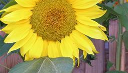 Hög stor gul blomma med gröna blad.