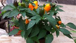 Växt i kruka med gröna blad och orange eller gröna frukter.