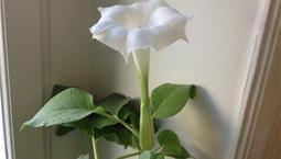 Krukväxt med stora blad och stor trumpetliknande vit blomma.