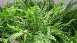 Växt i kruka med gröna blad läng med långa skaft.