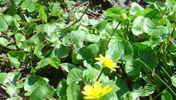 Låga växter med gröna blad och gula blommor.
