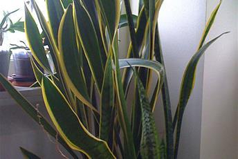 Krukväxt med höga gulgröna blad.