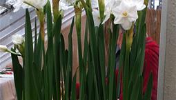 Växt med gröna smala blad och vita blommor.