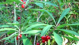 Utomhusväxt med ljusgrå stam, gröna avlånga blad och klarröda bär.
