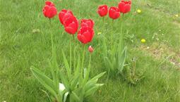 Tulpaner som växer på gräs. Växterna har långa gröna blad, lång smal grön stjälk och röda kronblad.