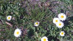 Små blommor som växer på marken med smala vita kronblad och gul mitt.