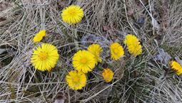 Flera små gula blommor i torrt gräs