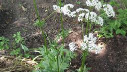 Grön växt med vita flockblommor.