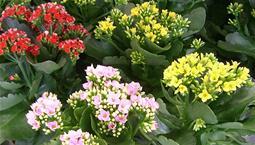 Flera krukväxter med tjocka gröna blad och röda, rosa eller gula blommor.