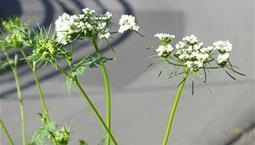 Närbild på vita flockiga blommor på höga gröna stjälkar.