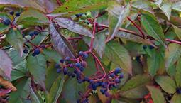 Växt med röd-gröna blad och blå-svarta bär på röda stjälkar