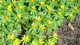 En klunga låga gula blommor med gröna blad.