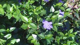 Klätterväxt med blanka gröna blad och lila blommor.