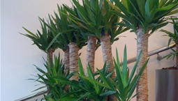 Växt med flera stammar och gröna blad på toppen.