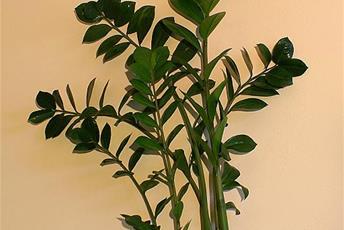 Växt med höga stjälkar och tjocka blad.