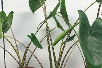 Grön växt med långa randiga stjälkar