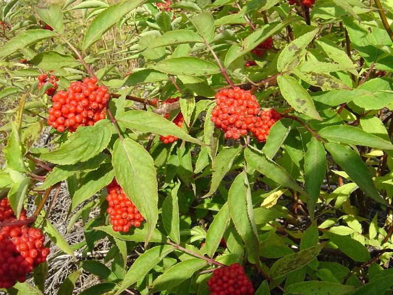 buske med röda bär