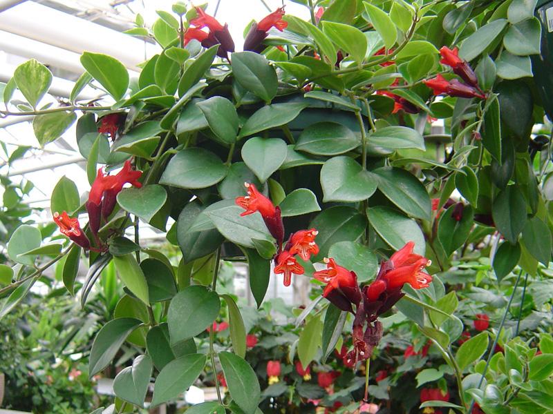 växt med röda blommor
