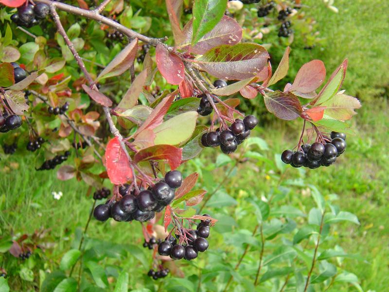 svarta bär buske