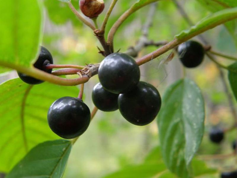 buske med svarta bär