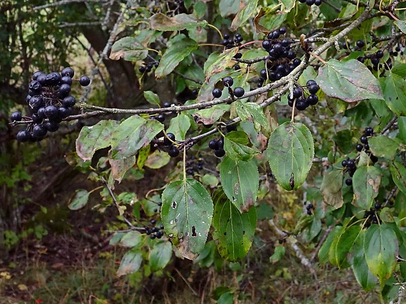 träd med små svarta bär