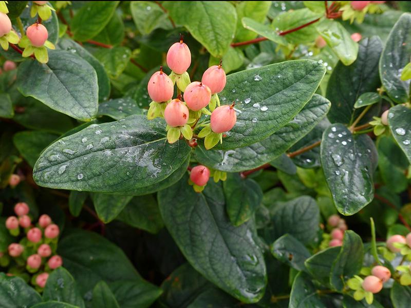 giftig buske korsord
