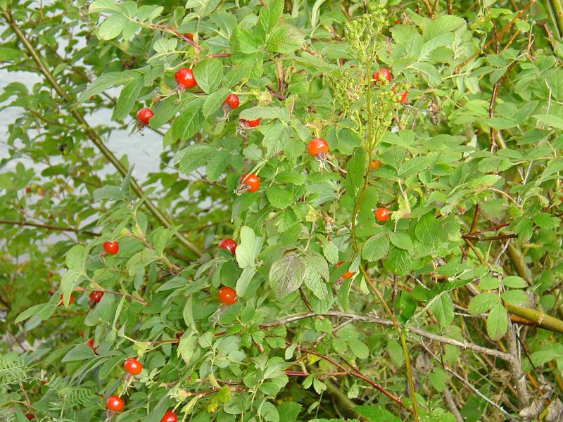 buske med orangea bär